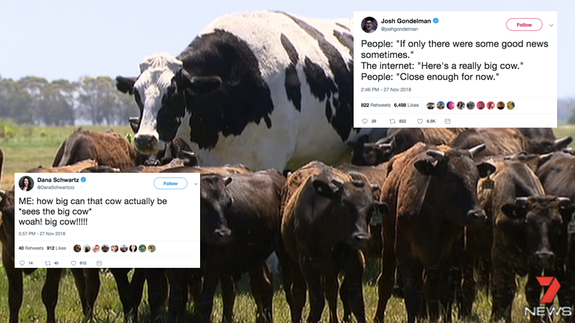 Big cow picture.png